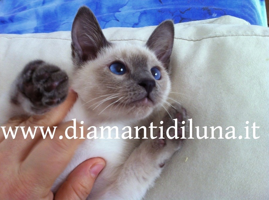 thai blue point; www.diamantidiluna.it
