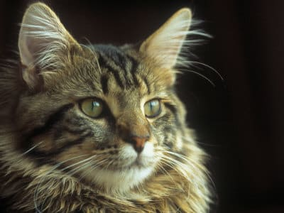 maine-coon-fotogallery-9
