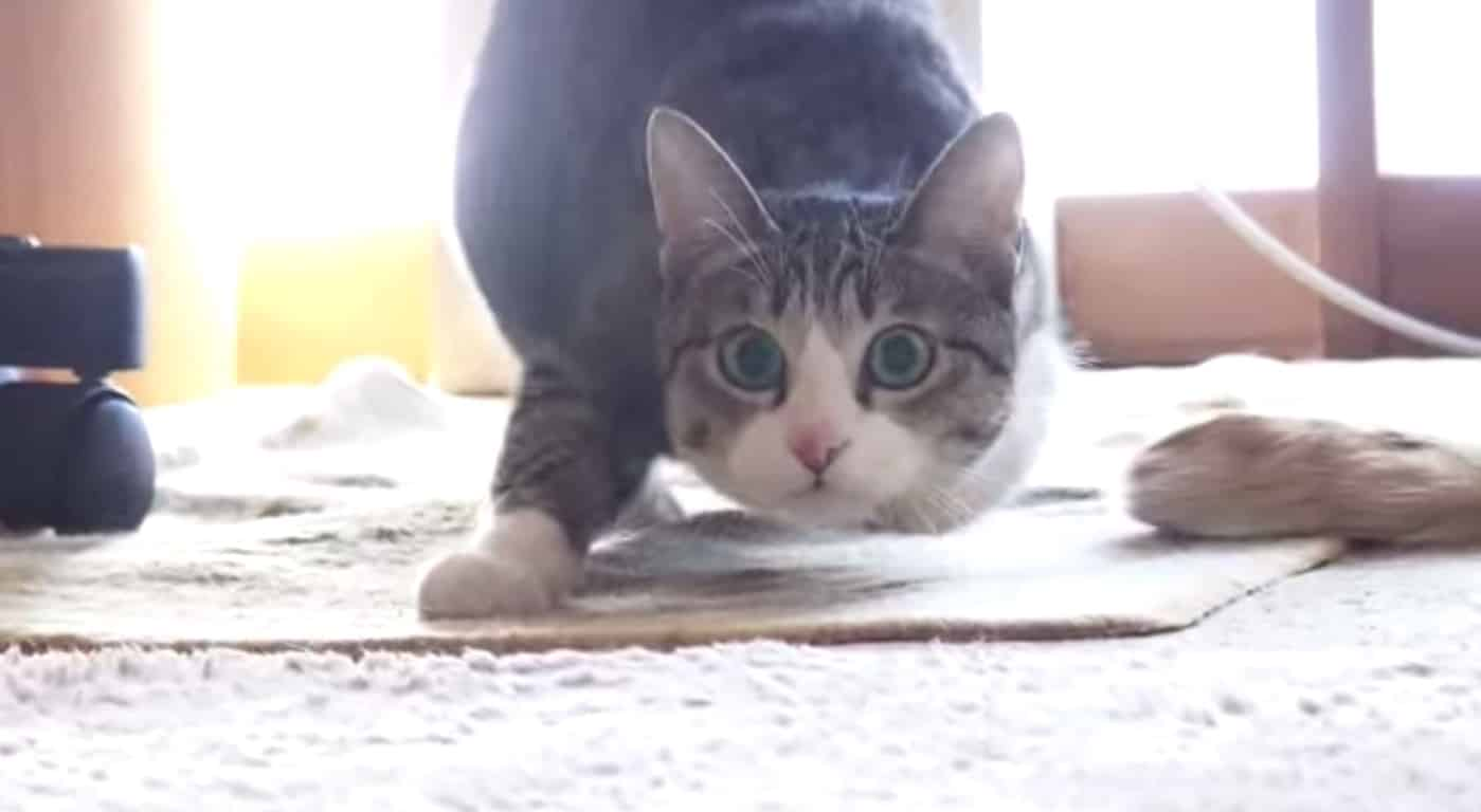 Video Gatto Simpaticissimo Si Prepara Ad Attaccare