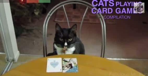 Video Gatti Giocano Con Le Carte Da Poker