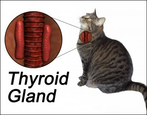 thyroid-disease-in-cats