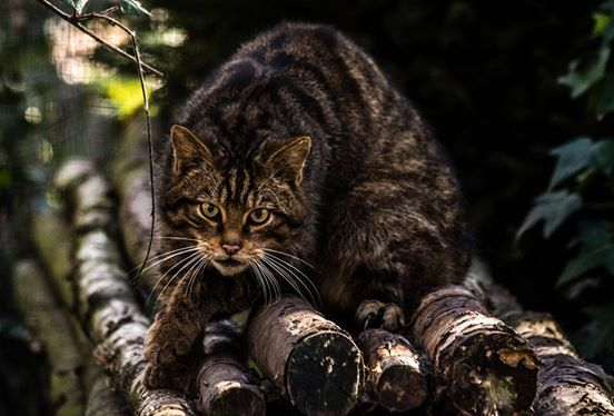 scottish wildcat 1