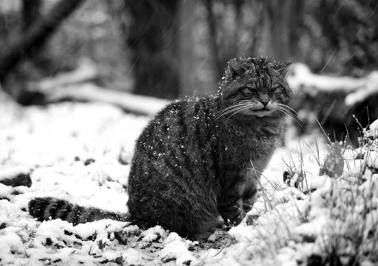 scottish wildcat 3