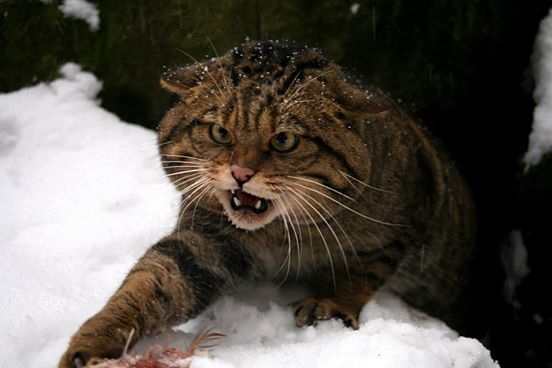 scottish wildcat 4