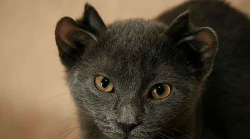 Domestic Cats With Round Ears