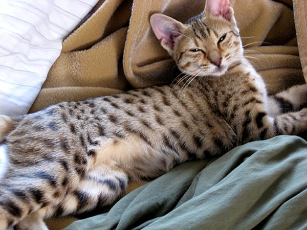 Spotted Tabby