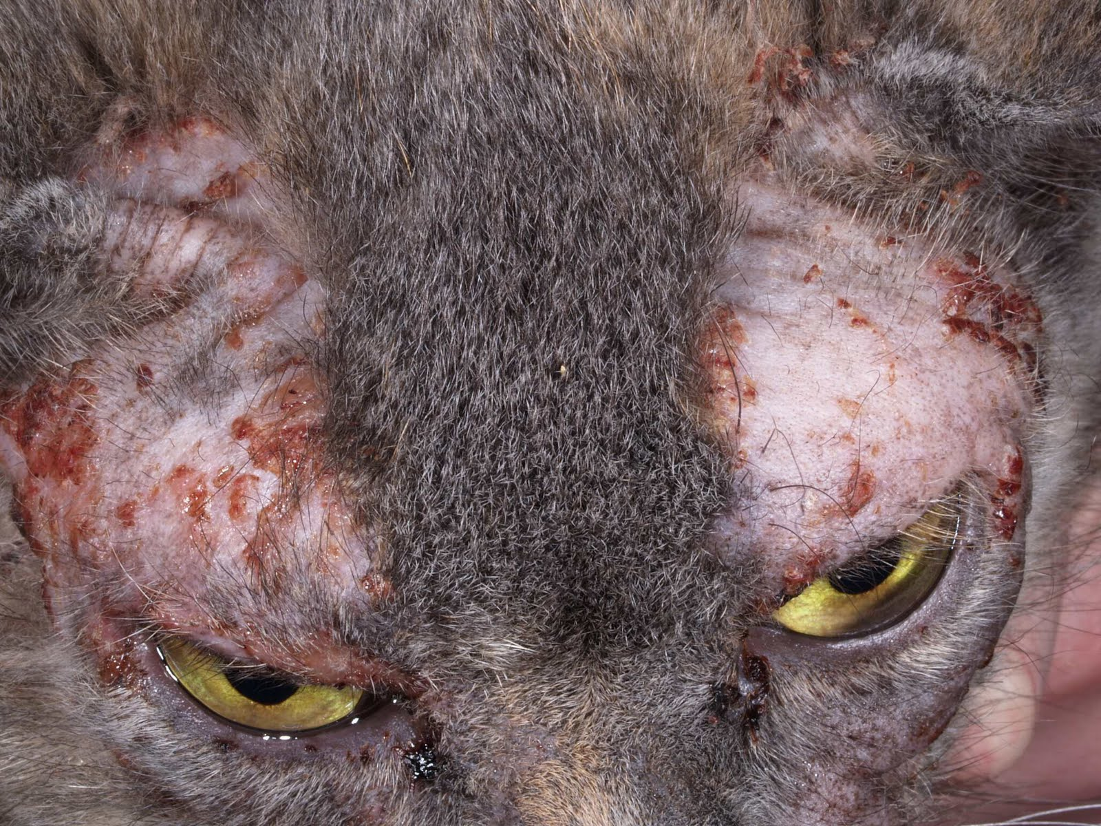 Home Remedies For Cat Eye Allergies