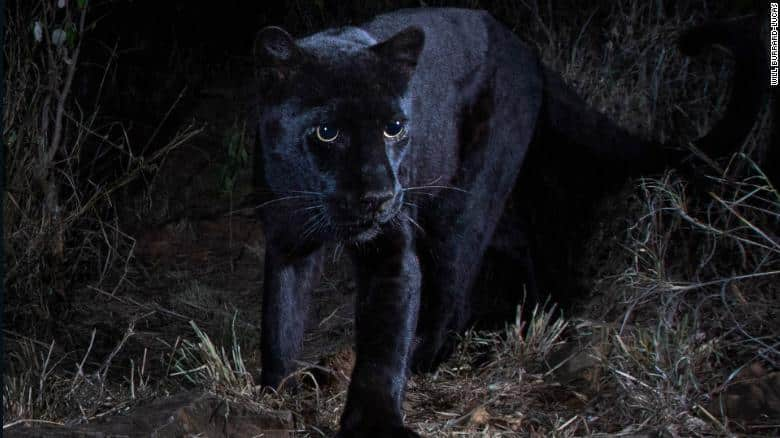 leopardo nero