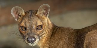 fossa animale